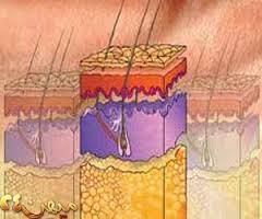 مقاله درمورد بافت برداری عضلانی زیر پوستی